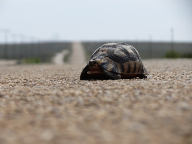 We got used to keeping our eyes peeled for tortoises in the road