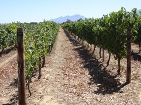 Rows of grapes = plenty of wine!